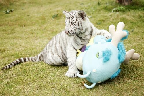 香江野生动物园现存的150多只白虎都有一个共同的